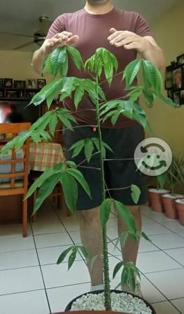Ceiba en maceta decorada 1.20m altura