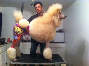 Cachorritos french poodle gigante