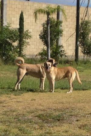 Cachorros pastor de anatolia
