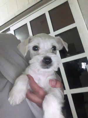Schnauzer miniatura blanco cachorro en monterrey unico y