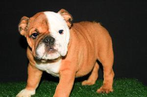 Bulldog ingles macho hijo de campeon
