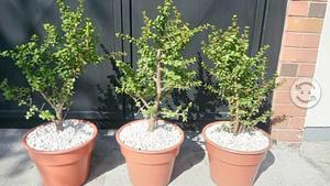 Combo 3 árboles de la abundancia maceta nueva