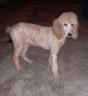 Bonita y original cachorrita french poodle gigante