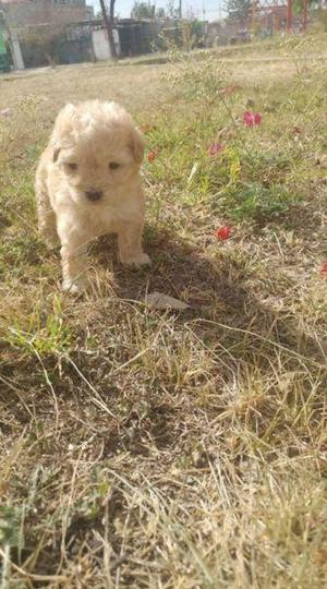 Cachorros French Poodle Minitoy