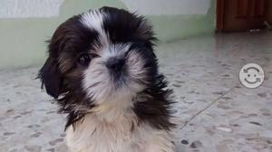 Shih tzu shit zu mini imperial apta cpr
