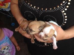Cachorros chihuahueños hembras y machos