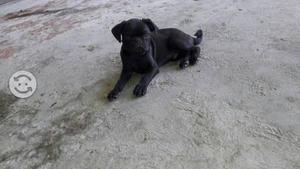 Cachorrito pug negro