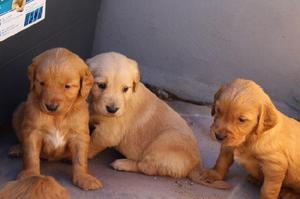 Cachorros Labradores Golden Retriver Originales En México