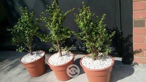 Combo 3 árboles de la maceta nueva