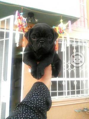 Pug negro macho