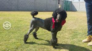 French poodle estándar o caniche gigante hembra