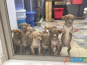 Venta de hermosos cachorros de pitbull