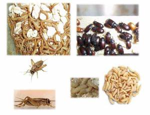 Insectos:grillos,gorgojos chinos,waxworms, tenebrio zophobas