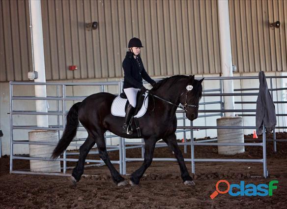 Agradable y encantador caballo frisón disponible