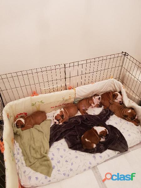 Kc reg bulldog cachorros