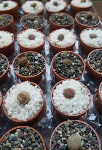 Lithops miniatura. plantas suculentas, recuerdo eventos