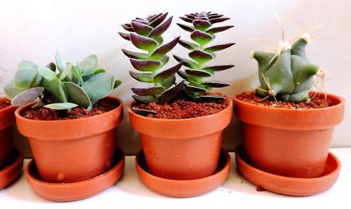 Plantas suculentas, cactus, plantas miniatura