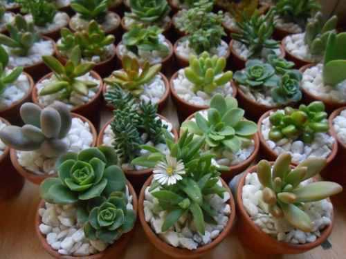 Plantas suculentas miniatura decoradas