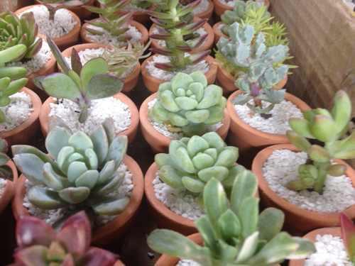 Plantas suculentas miniatura en maceta de barro.
