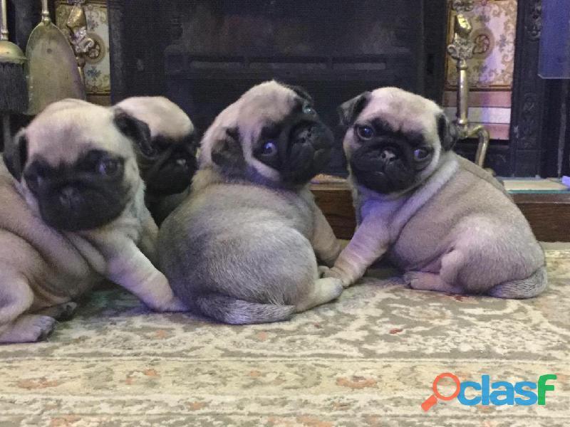 Cachorros de pug
