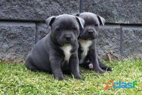 Cachorros de staffordshire bull terrier