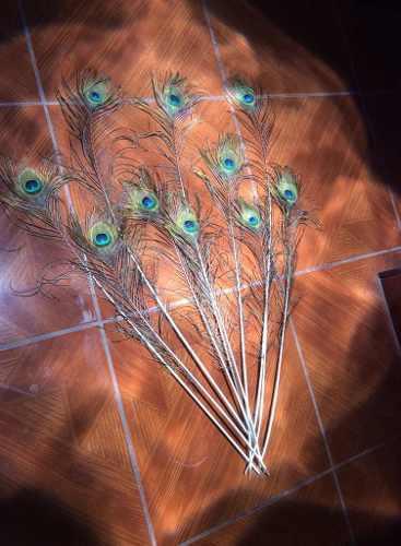 Plumas exóticas pavo real azul (11 plumas)