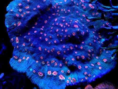 Coral chalice miami huracan corales marinos