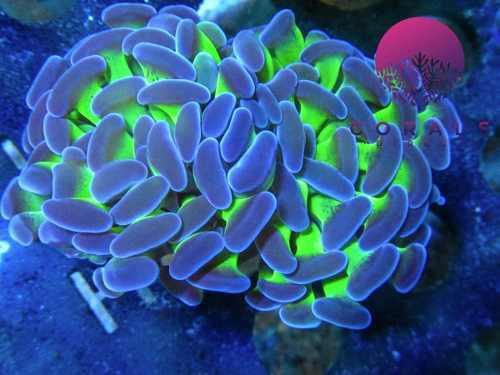 Coral hammer radioactivo verde con puntas moradas