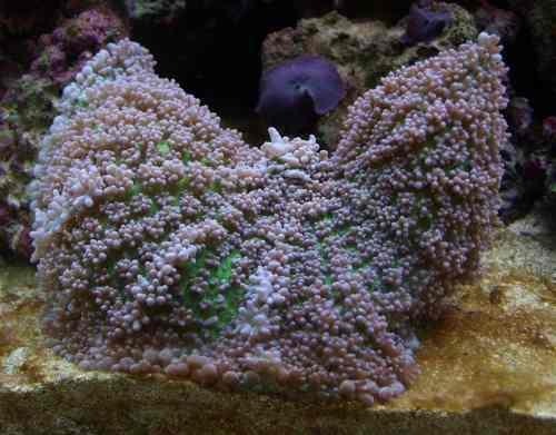 Coral hongo aterciopelado 10cm