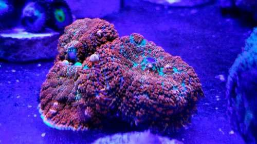 Coral hongo bull eye coral marino