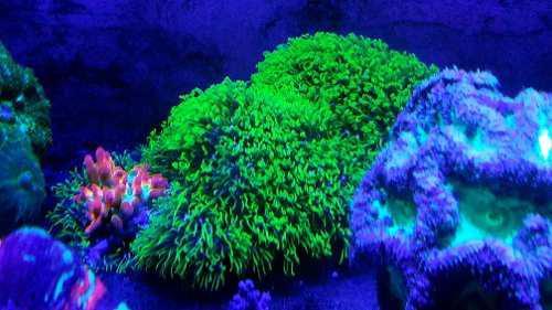 Coral polipo estrella verde radiocativo 2.5cm