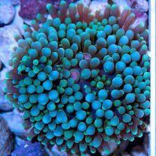 Coral ricordea florida aqua blue
