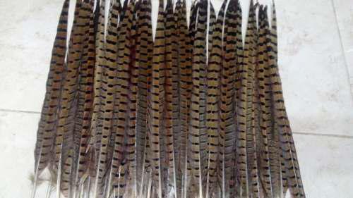 50 plumas de faisan natural,40-45 cm,no incluye envio