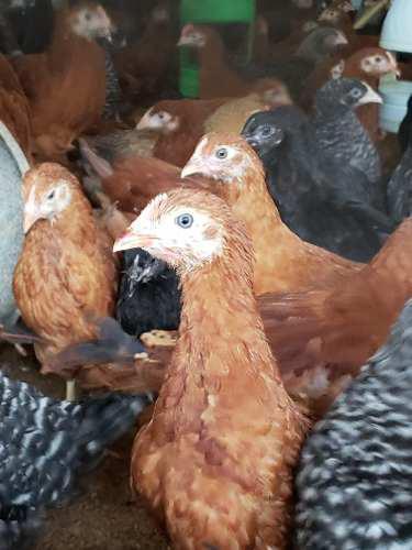 Gallinas ponedoras, gallinas de postura, 04 semanas