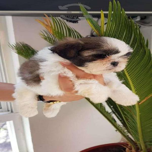 Hermosos cachorros shidzu