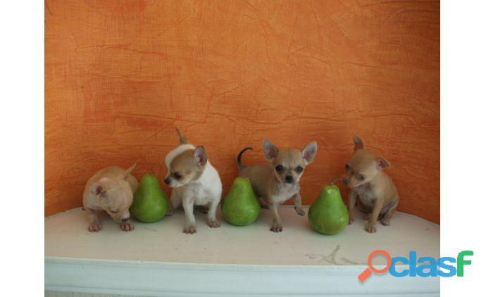 Chihuahuas de bolsillo