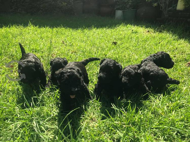 Cachorros Kerry Blue Terrier