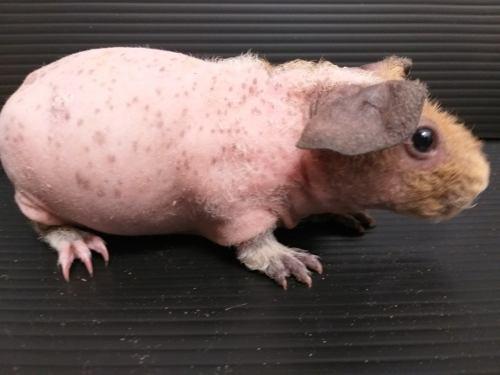 Cuyita skinny tipo dálmata 1 mes edad solo guadalajara