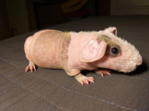 Cuyo skinny pelón macho 1 mes edad solo guadalajara