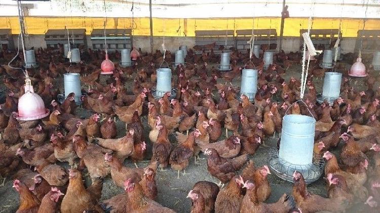 Gallinas y pollas ponedoras