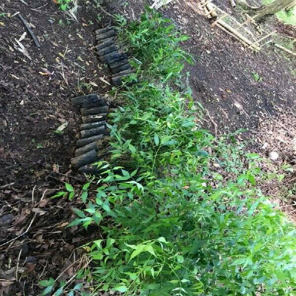 Planta bambu guadua angustifolia