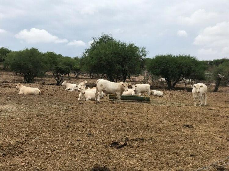 Toros y vacas charolais