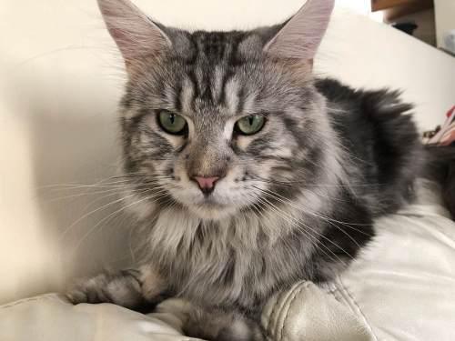 Maine coon hermosos gatitos con pedigree internacional