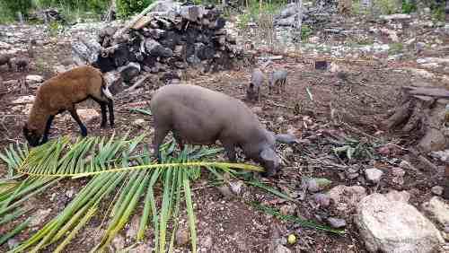 Cerdos organicos de varios tamaños