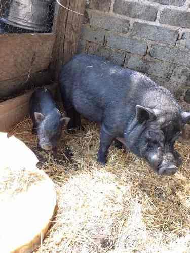 Cerdos vietnamita enanos machos.