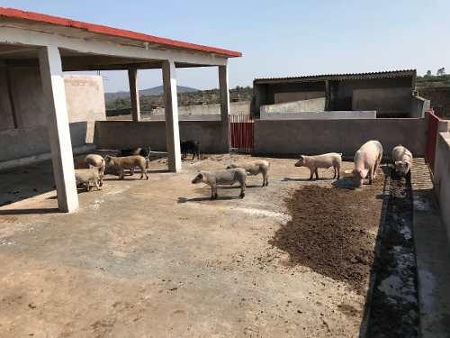 Puercos de destete y de engorda recibo animales a cambio