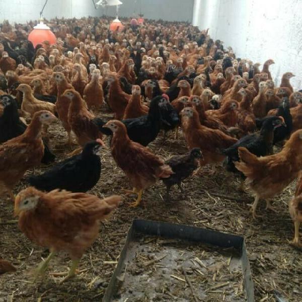 Gallos y pollones