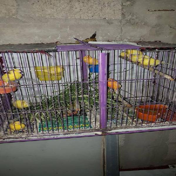 Canarios hembras y machos amarillos