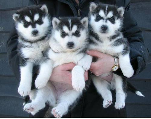 Vendo cachorros de raza pura de husky siberiano disponibles.
