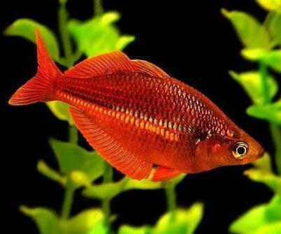 Arcoiris red irian glossolepis incisus peces acuario